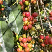 Etiyopya Acacia